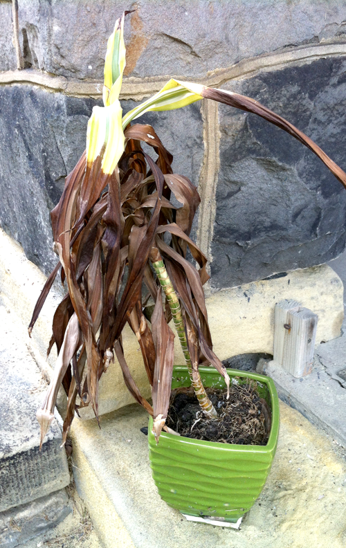 A dying houseplant
